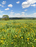 Yellow dandelion flowers sway in the breeze in fields with hills in distance and blue sky above Stock Photography