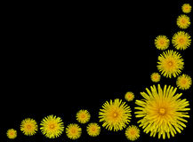 Yellow Dandelion flowers Taraxacum officinale. Bunch of Beautiful Yellow Dandelion flowers- Taraxacum officinale isolated on Black background royalty free stock image