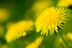Yellow dandelion flowers Taraxacum officinale. Dandelions field background on spring sunny day. Blooming dandelion. Stock Photography