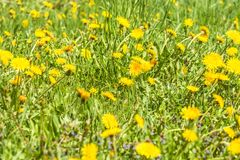 Yellow dandelion flowers Taraxacum officinale. Dandelions field background on spring sunny day. Blooming dandelion. Royalty Free Stock Photography