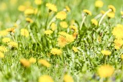 Yellow dandelion flowers Taraxacum officinale. Dandelions field background on spring sunny day. Blooming dandelion. Stock Images