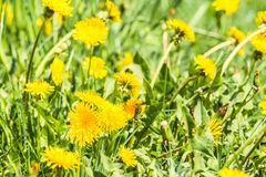 Yellow dandelion flowers Taraxacum officinale. Dandelions field background on spring sunny day. Blooming dandelion. Stock Photo