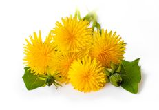 Yellow dandelion flowers Taraxacum officinale. Dandelions isol. Ated on white background. Blooming dandelion stock photo