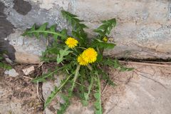 The Yellow dandelion flowers Taraxacum on a background of a stone wallseedling. Yellow dandelion flowers Taraxacum stone wall royalty free stock image