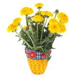 Yellow dandelion flowers in a vase isolated. On white background stock image