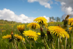 Yellow dandelion flowers on the wield. Yellow dandelion flowers with leaves on the wield in green grass Royalty Free Stock Photo