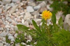 Yellow dandelion Stock Photography