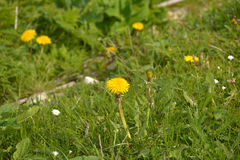 Yellow dandelion in the garden. Royalty Free Stock Photography