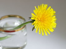 Yellow dandelion is in the glass with water. Yellow dandelion is in the wineglass with water on gray background Royalty Free Stock Photos