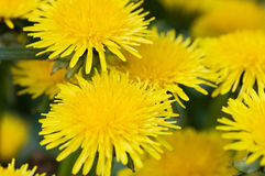 Yellow dandelion in the grass green meadow Royalty Free Stock Photography