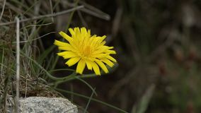 Yellow Dandelion In Grass. Steady, close up shot of a yellow dandelion in grass stock video