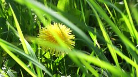 Yellow dandelion in the grass. the wind rustles the grass. Flower late spring and early summer stock video footage