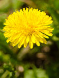 Yellow dandelion on green background Royalty Free Stock Photo