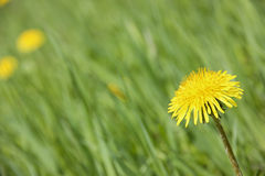 Yellow dandelion on a green background. Flowering dandelion on meadow isolated royalty free stock image