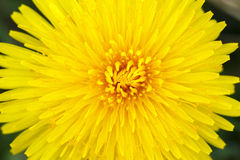 Yellow dandelion on a green background Royalty Free Stock Images