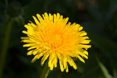 Yellow dandelion on a green background Stock Image