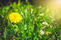 Yellow dandelion on the green field closeup in summer with sunli Royalty Free Stock Image