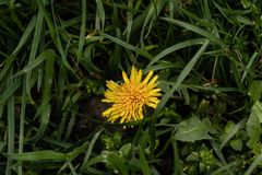 Yellow dandelion on the green grass stock image