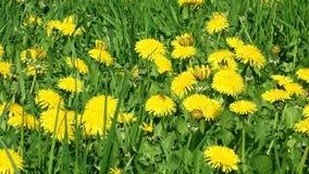 Yellow dandelion. On green grass stock video