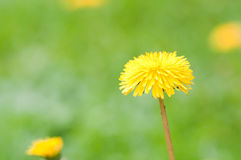 Yellow dandelion on green background Royalty Free Stock Photography