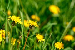 Yellow dandelion on green grass background, spring Sunny day stock photo