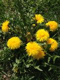 Yellow dandelion on green grass royalty free stock photography