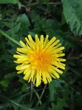 Yellow dandelion on green grass royalty free stock photo