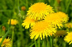 Yellow dandelion in green meadow Royalty Free Stock Image
