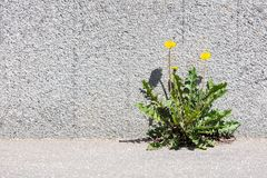 Yellow dandelion growing between sidewalk and stone wall. Front view royalty free stock images
