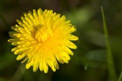Yellow dandelion head Stock Photography