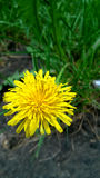 Yellow Dandelion.Image of single yellow dandelion flower in the green grass. Barnaul, Russia, June 2016. Stock Photos