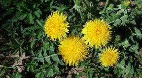 Yellow dandelion with the insect on it on a green field close-up. Taraxacum or dandelion - perennial herbaceous plant of the. Astrov family stock image