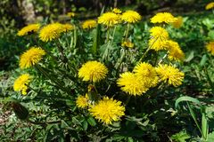 Yellow dandelion with the insect on it on a green field close-up. Taraxacum or dandelion - perennial herbaceous plant of the. Astrov family stock photo