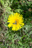 Yellow dandelion. With insects in green grass Royalty Free Stock Images