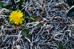 Yellow dandelion isolated in dead, dry grass. Yellow dandelion isolated on the ground with dead, dry grass all around it. It represents life where there is death stock photo