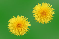 Yellow Dandelion. Isolated on green Stock Photos