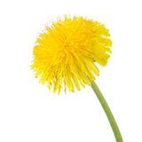 Yellow dandelion isolated on a white stock images