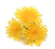 Yellow dandelion isolated. On white background royalty free stock photos