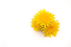 Yellow dandelion isolated on white background. Free white background for text or pictures stock image