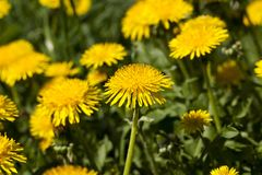Yellow dandelion. A large number of yellow dandelion flowers on a summer or spring meadow with green grass, field territory in the weeds royalty free stock photos