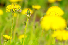 Yellow dandelion with leaves in grass. Yellow dandelion flowers in grass during early summer Royalty Free Stock Photo