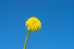 Yellow Dandelion with long stem. Taraxacum Officinale. Blue sky background royalty free stock photo