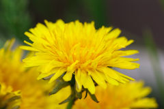 Yellow dandelion on meadow, spring time. Stock Photo