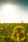 Yellow dandelion meadow with sunny background Stock Photos