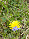 Yellow Dandelion Next to Purple Flower on Green Grass Stock Photography