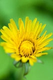 Yellow dandelion over green background Stock Images