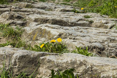 Yellow dandelion on the path of the old stones Royalty Free Stock Image