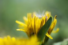 Yellow Dandelion Petals Macro. The vibrant, yellow petals of a dandelion flower stand out against a green background on a sunny, summer day stock image