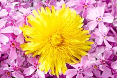 Yellow dandelion on pink Stock Images