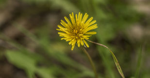 Yellow dandelion after rain in spring Stock Images